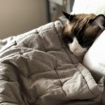 Cat snuggled up in bed with a white pillow and gray quilted blanket